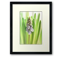 Grape Hyacinth 2014 my first this year....  Framed Print