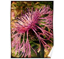 Knapweed in Waiting Poster