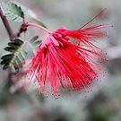 Baja Fairy Duster (Calliandra californica) by DonnaMoore