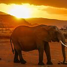 Elephant at Sunset  by Pippa Carvell