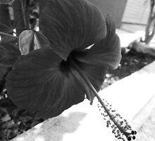 ©GS Red Hibiscus IA Monochrome by OmarHernandez