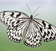 Paper Kite Butterfly by Barbara Manis