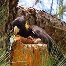 Black Cockatoo  by KiriLees