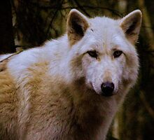 Grey Wolf Woodland Park Zoo by Ian Phares