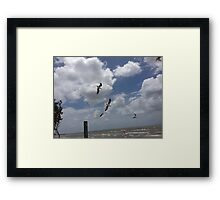 Sea Gulls Dive Redcliffe Framed Print