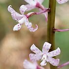 Spotted Hyacinth Orchid - Dipodium pardalinum by Paul Piko