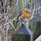 European Robin (Erithacus rubecula) by Tom Curtis