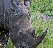 White Rhino Grazing by phil decocco