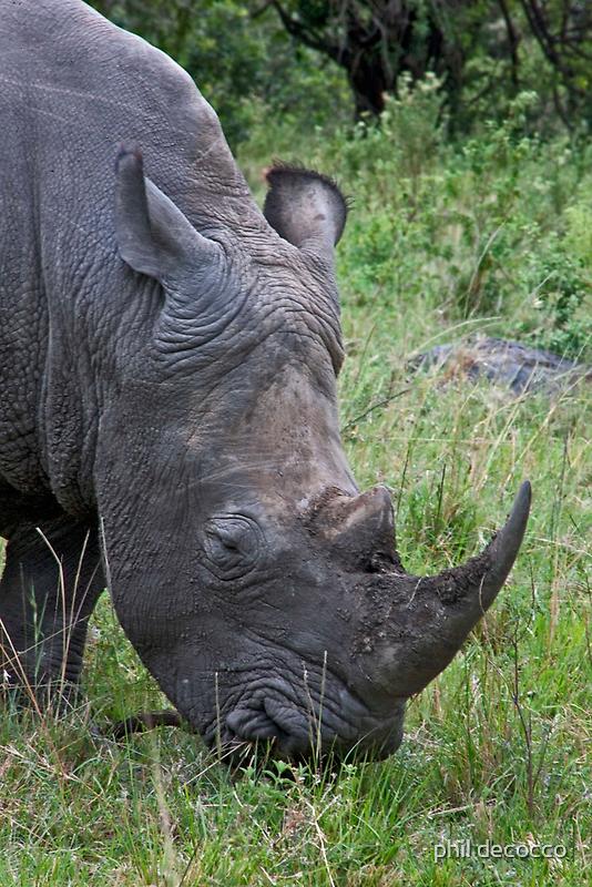 White Rhino Grazing by phil decocco