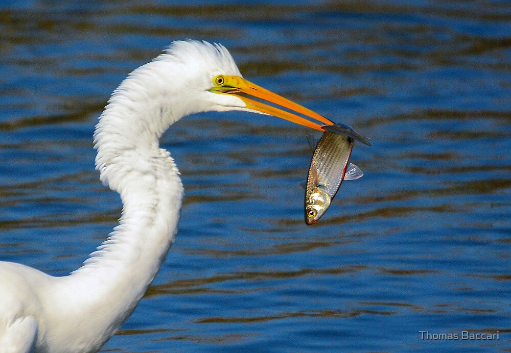 Great White Egret Gets His Afternoon Snack by TJ Baccari Photography