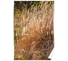 golden grass Poster