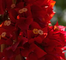 My Fabulous Tropical Valentines Gift - Vivid Red Bougainvillea by Georgia Mizuleva