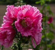 Sunny Vivid Pink Hollyhocks in a Cottage Garden by Georgia Mizuleva