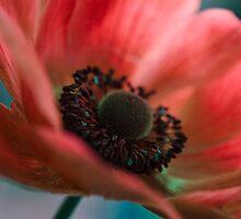 Pinkish Red Anemone  by Nicole  Markmann Nelson