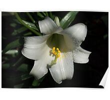 Emerging from the Darkness - Pure White Easter Lily Poster
