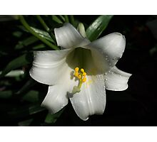 Emerging from the Darkness - Pure White Easter Lily Photographic Print
