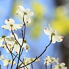 Springtime Beauty In The Sky... gorgeous, gorgeous dogwood blossoms! by NatureGreeting Cards ©ccwri