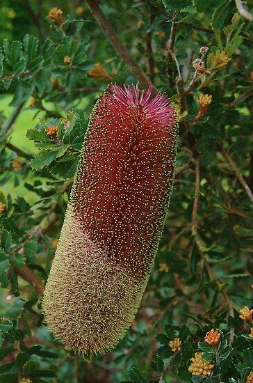 Banksiac praemorsa red   by lezvee