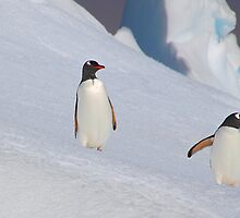 Gentoo Penguins On The Slippery Slope by Carole-Anne