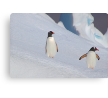 Gentoo Penguins On The Slippery Slope Canvas Print