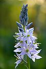 Wild Native Hyacinth  by NatureGreeting Cards ©ccwri