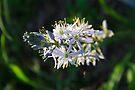 Wild Native Hyacinth  by NatureGreeting Cards ©ccwri