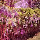 Wisteria in Bloom by wallarooimages
