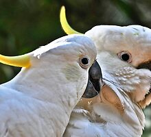 Sulphur Crested Cockatoos XX by Tom Newman