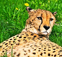 Relaxed Cheetah by amira