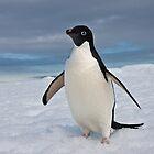 Adelie Penguin seeks Fame by Robert van Koesveld