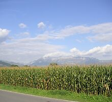 Field Corn in Liechtenstein by cadellin