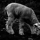 My Sheep Hear My Voice by Samantha Higgs