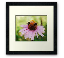 Echinacea Purpurea with Bees Framed Print