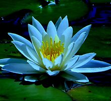Water Lily.....Waldport, Oregon by trueblvr