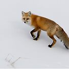 Red Fox in Yellowstone by Robert van Koesveld