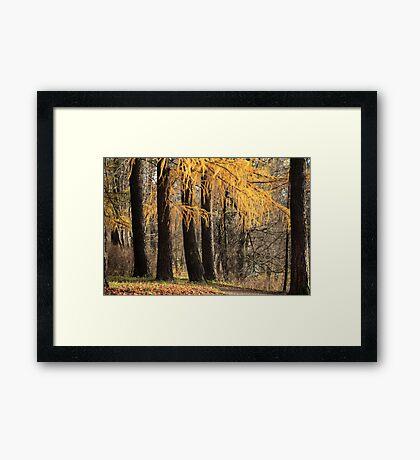 larch trees Framed Print
