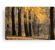 larch trees Canvas Print
