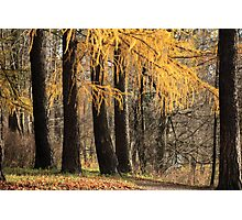 larch trees Photographic Print
