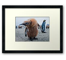 Strange Encounter; King Penguin Chick checking out the visiter Framed Print