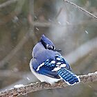 Blue Jay - Cyanocitta cristata  by MotherNature