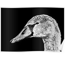 Swan Black & White Poster