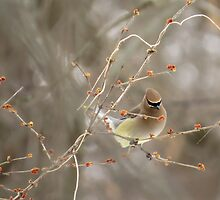 Cedar Waxwing Surrounded By Berries by Deb Fedeler