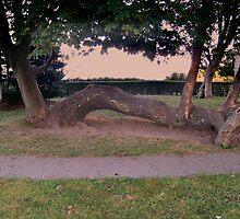 Unusual Tree on the Campus of Regina-Salvina, Newport RI by Jane Neill-Hancock