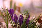 Crocus 1 by NatureGreeting Cards ©ccwri