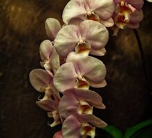 Pink Orchids by Dorothy  Pinder