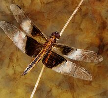 A time for Dragonflies by PineSinger