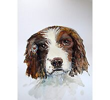 Springer Spaniel with daisy watercolour Photographic Print