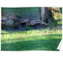 Tawney Owl in flight Poster
