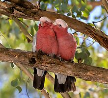 Australian Galah couple. by Graeme Bayley
