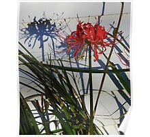 Spider Lily In Shadow Poster